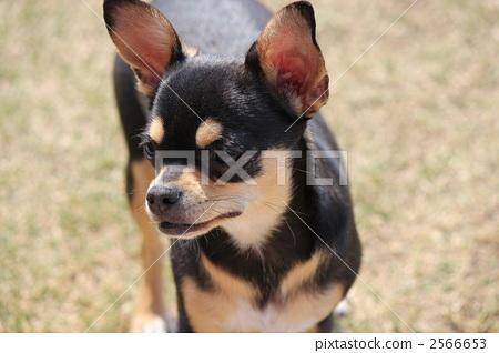 照片: 狗 吉娃娃 一只动物