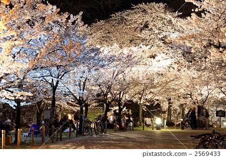 照片素材(图片): 照亮 夜樱 夜晚的樱花树