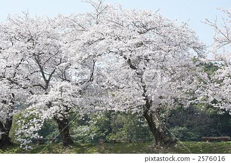 照片: 樱花 樱桃树 盛开