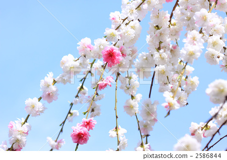 正在开花的桃树 天