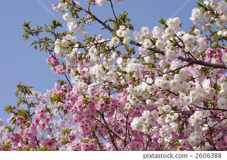 樱花 樱桃树 重瓣樱树