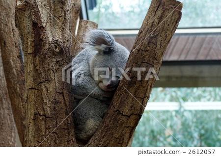 陆生动物 考拉 有袋类动物