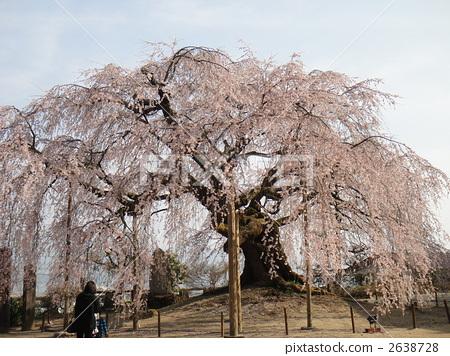 樱花 树枝低垂的樱花树