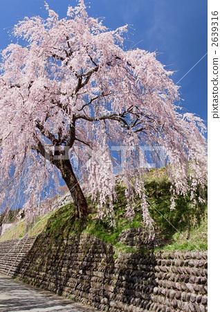 树枝低垂的樱花树 道路