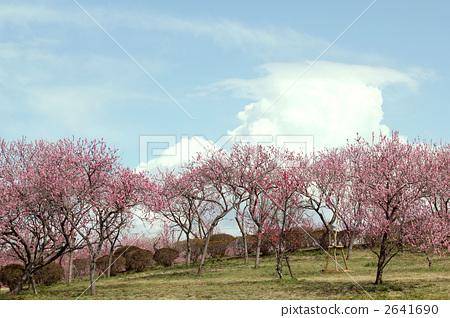 桃子 桃树 桃树林
