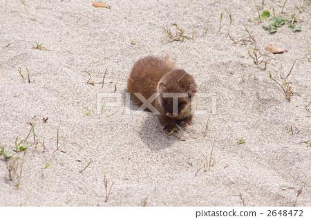 图库照片: 鼬鼠 野生动物 陆生动物