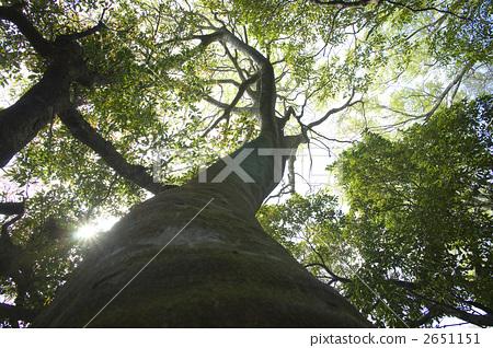 照片素材(图片): 大树 山毛榉森林 原始森林