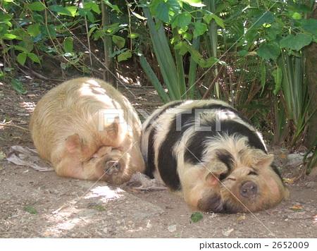 猪 动物群 动物宝宝