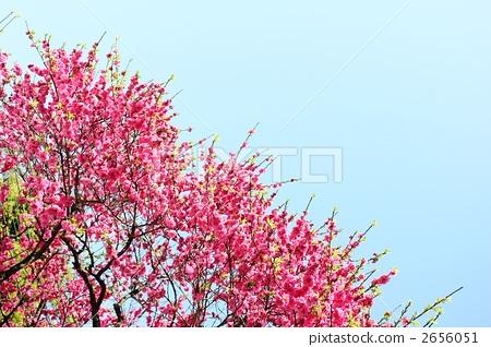 正在开花的桃树 盛开