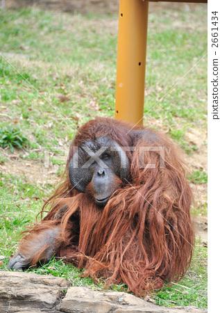 图库照片: 陆生动物 猭 猩猩