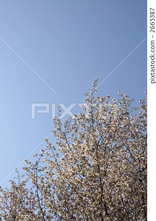 野樱桃树 樱花盛开 野樱桃花