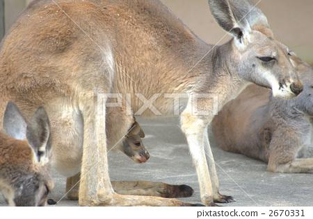 红袋鼠 袋鼠 动物宝宝