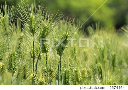 照片: 绿色小麦 小麦 丰收