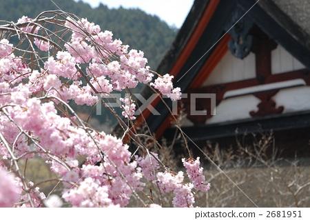 照片: 花朵 开花 樱桃树