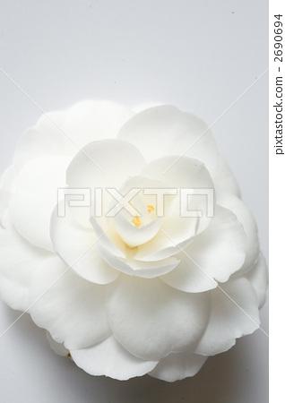 首页 照片 植物_花 花 山茶花 白色山茶花 花朵 花卉  *pixta限定素材