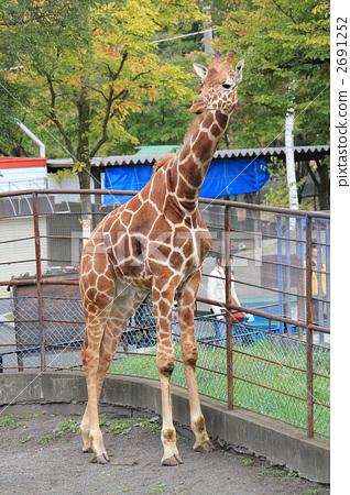 图库照片: 长颈鹿 陆生动物 旭山动物园