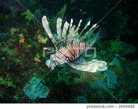 狮子鱼 咸水鱼 海洋动物