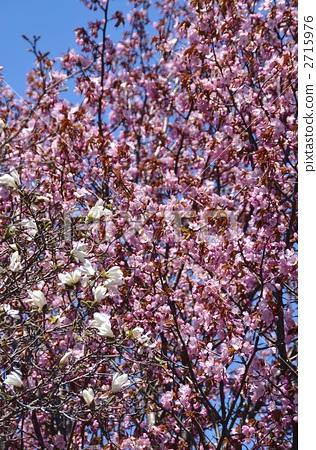 花朵 野樱桃树 开花