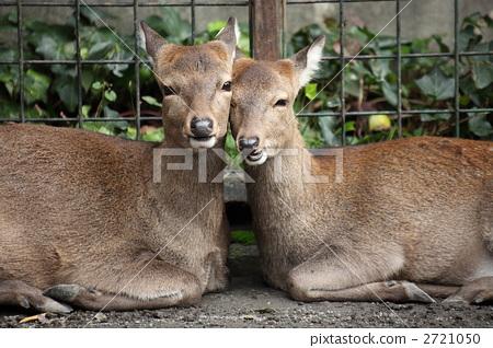动物 动物宝宝 日本鹿