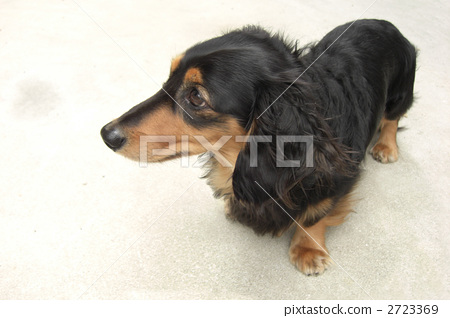 动物_鸟儿 狗 腊肠犬 照片 室内狗 腊肠犬 玩具狗 首页 照片 动物