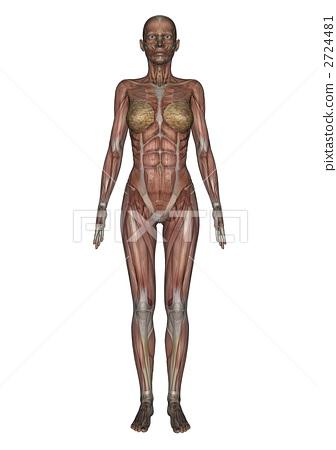 图库插图: 女性人体模型