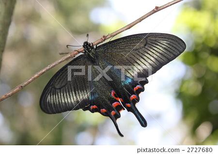 蝴蝶 中国孔雀 灰蝶