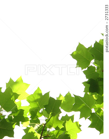 照片 活动_节日 圣诞节 圣诞树 分支 树枝 文稿空间  *pixta限定素材
