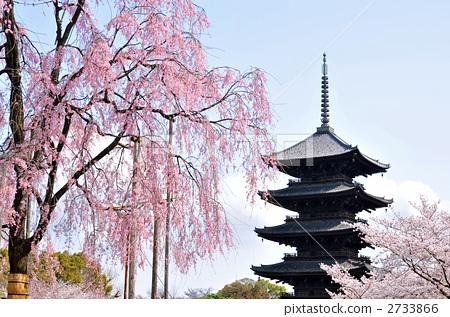 五重塔 东寺庙 树枝低垂的樱花树