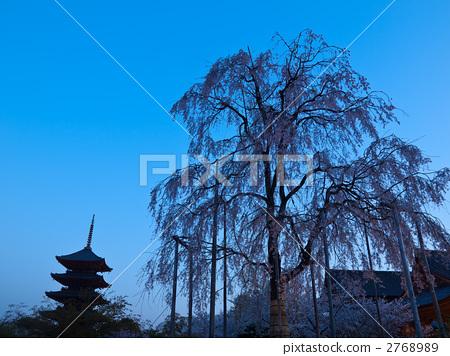 树枝低垂的樱花树 富士樱花