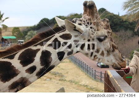 长颈鹿 网纹长颈鹿 动物园