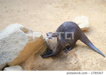 图库照片: 水獭 亚洲小爪水獭 一只动物