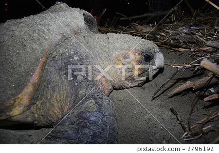 图库照片: 红海龟 海龟 自然环境