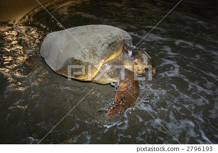 海龟 红海龟 自然环境 首页 照片 动物_鸟儿 海洋动物 海龟 海龟 红