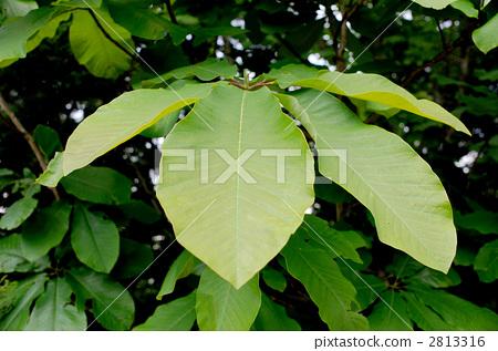 日本大叶木兰 落叶树 树叶纹理