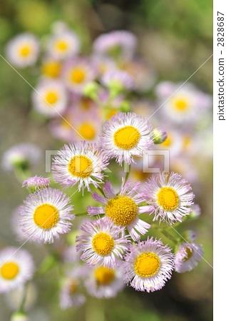 紫苑 春飞蓬 野草