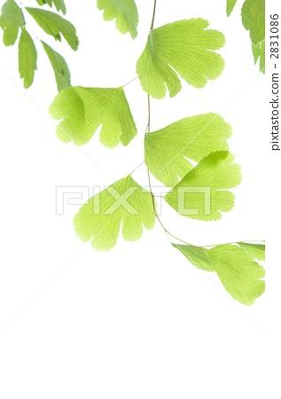 银杏树叶-铁线蕨银杏树叶-铁线蕨 图片素材