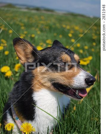 威尔士矮脚狗 动物宝宝