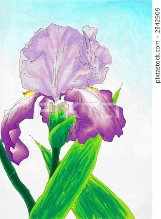 插图: 德国鸢尾 花朵 水彩画