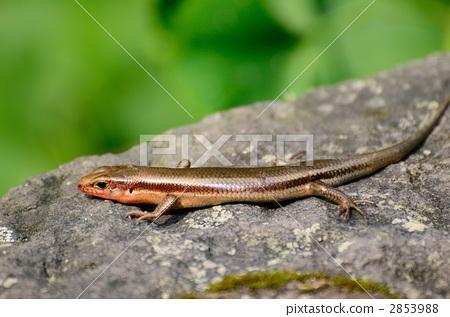 图库照片: 爬行动物 爬虫类的 蜥蜴