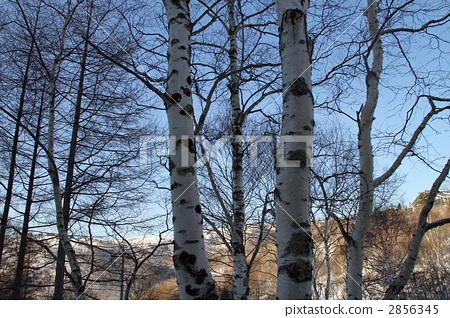 银桦树 日本白桦 木头