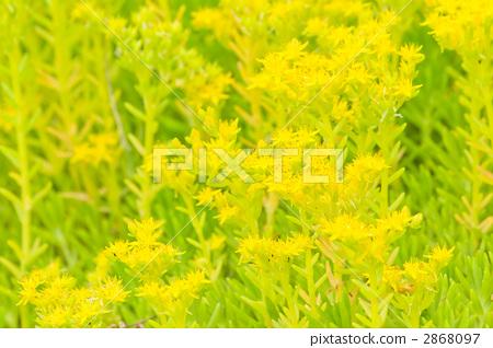 图库照片: 红景天 花朵 花卉