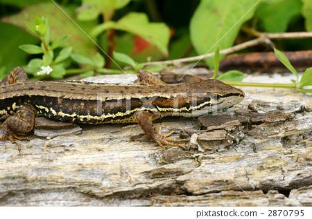 图库照片: 日本草蜥 蜥蜴 爬行动物