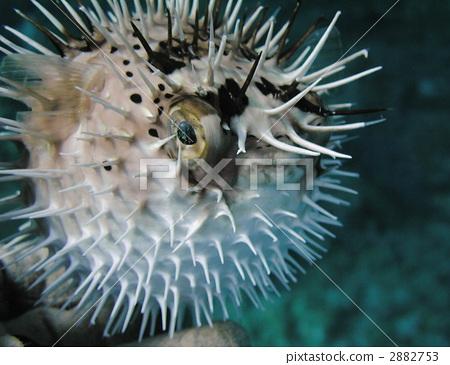 图库照片: 河豚 密斑刺 海洋动物