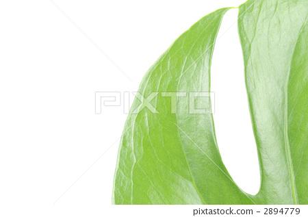 首页 照片 植物_花 观叶植物 龟背竹  pixta限定素材      龟背竹[289