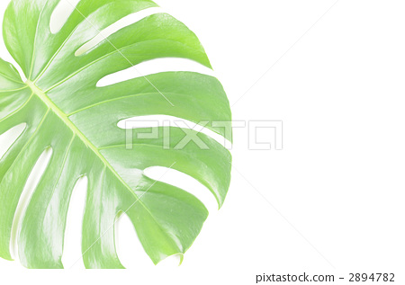 照片 龟背竹 首页 照片 植物_花 观叶植物 龟背竹  pixta限定素材