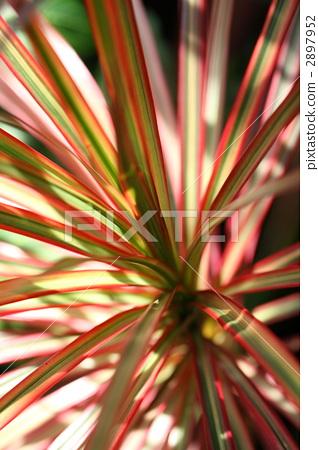龙血树属植物 叶子 红叶