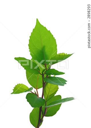 图库照片: 树叶 叶子 白底