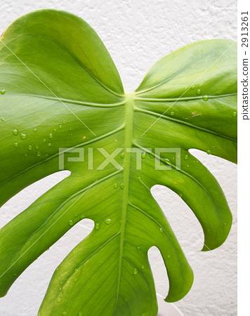 龟背竹(上) 首页 照片 植物_花 观叶植物 龟背竹(上)  pixta限定素材