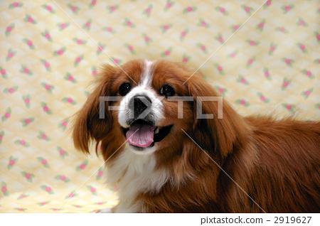 狗 小型犬 玩具狗