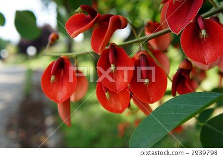 海红豆树 开花 花朵